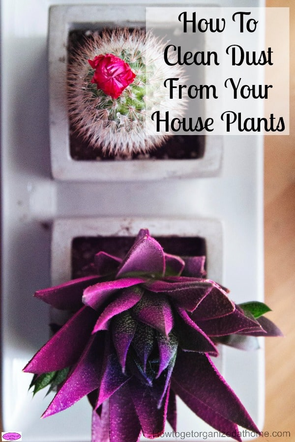 How to clean dust from your house plants is important if you want them to be healthy and happy plants. Dust forms a barrier and can impair its health.